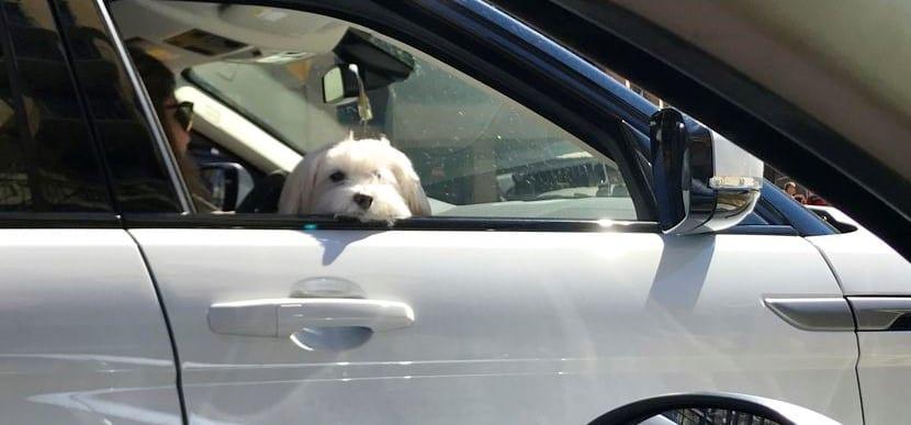 Una forma muy peligrosa de viajar con el perro