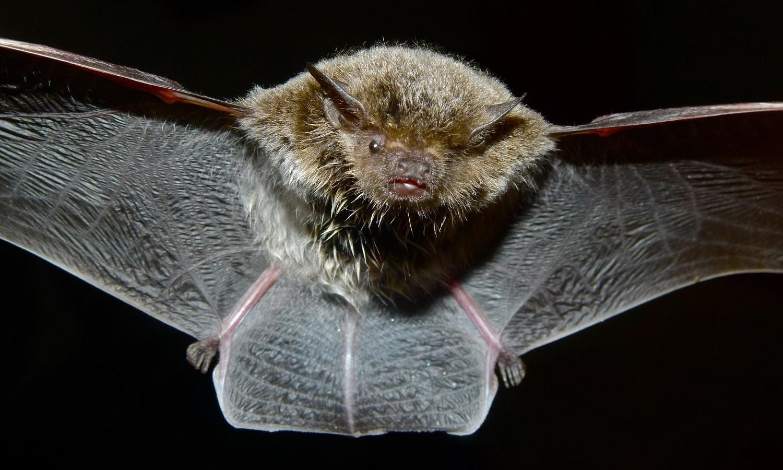 Bernard DUPONT. Murciélago Cape Serotine (no se corresponde con la especie citada en el artículo)